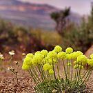Wild flowers of Northern Nevada by SB  Sullivan