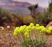 Wild flowers of Northern Nevada by SB  Sullivan