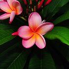 Pink Frangipani by Alex Woolfenden