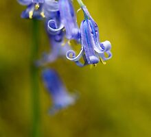 Bluebell Flowers Close Up by Nick Jenkins