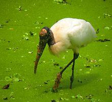 Woodstork in the Swamp by Rosalie Scanlon