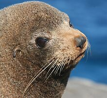 Australian Fur Seal by ChrisCoombes