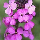 Purple~Pink flower.... by Martina Fagan