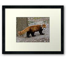Unbelievable Red Panda Framed Print