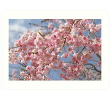 Japanese Weeping Cherry blossoms Art Print