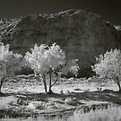 Cottonwood Three by Terry Shumaker