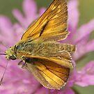 Unknown moth from Alpes by loiteke