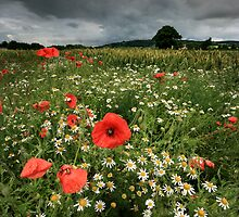 Poppies in the Rain by Angie Latham