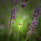 I Love Lavender by rosedew