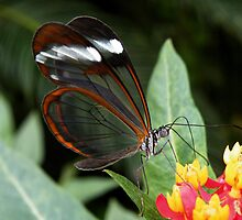 GlassWing Butterfly, by AnnDixon