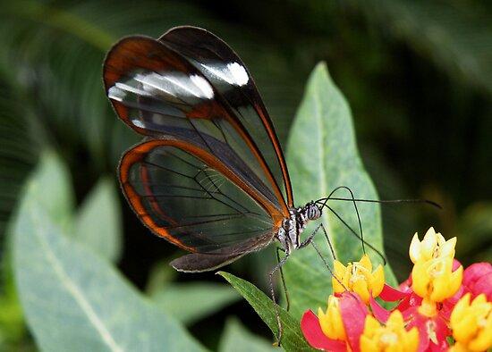 GlassWing Butterfly, by AnnDixon