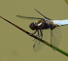 BROAD BACKED DRAGON FLY by Marilyn Grimble