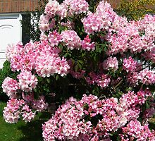 Pink abundance in full glory  by steppeland