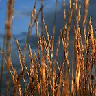 grass 3 by Kent Tisher