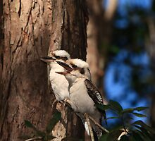 Pair of Kookaburras by Peter de Groot
