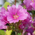 Pink flowers by Paul Morley