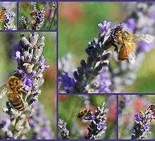 Bees on Lavendula angustifolia by Julie Sherlock