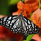 Butterfly in Black and White by kellimays