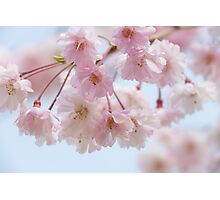 Japanese Weeping Cherry Photographic Print