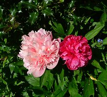 Pinks by mickeydoodah