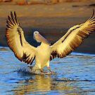 Pelican  by helmutk