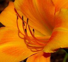 Shades of Yellow and Orange by CynLynn