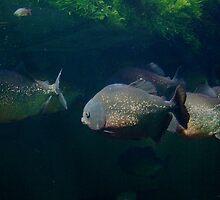 Piranha by KERES Jasminka