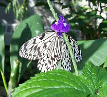 Rice Paper Butterfly by coribeth