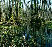 Swamp Forest by Martins Blumbergs