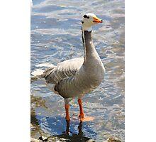 Goosey goosey gander... Photographic Print
