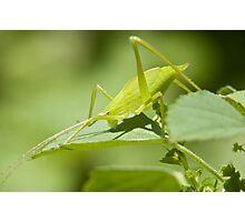 Green Hopper Photographic Print