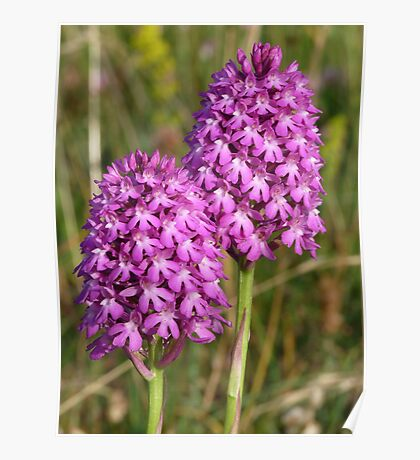 Pyramidal Orchids Poster