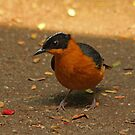 Snowy-Crowned Robin-Chat by Robert Abraham
