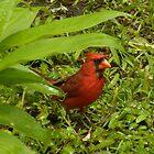 Cardinal by Hannah Fenton-Williams