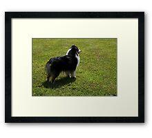 Black Tri-Color Australian Shepherd Framed Print