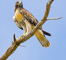 Red-tailed Hawk by Leroy Laverman