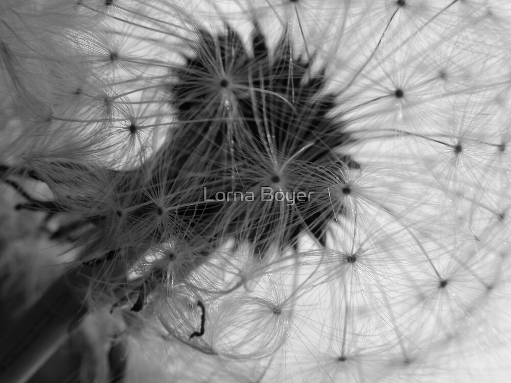 Dandelion Daydream by Lorna Boyer