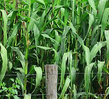 Barbed Wire Fence and Corn Field by rhamm