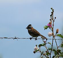 Rufous Collared Sparrow on a Fence by rhamm