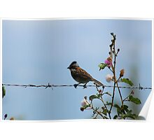 Rufous Collared Sparrow on a Fence Poster