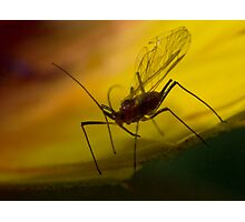 winged aphid Photographic Print