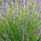 """""""Lavender Burst"""" by Lynn Bawden"""