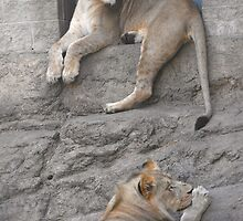 Lion Pair by sternbergimages