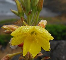 Evening Primrose by Bryan D. Spellman