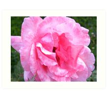 Two-tone Pink Rose.... Art Print