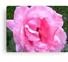 Two-tone Pink Rose.... Canvas Print