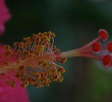 Hibiscus Stamen Macro by Adam Bykowski