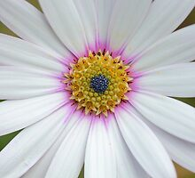 African Daisy  by Rumyana Whitcher