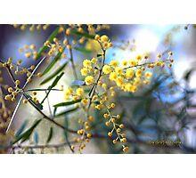 STANTHORPE WATTLE Australia © Vicki Ferrari Photographic Print