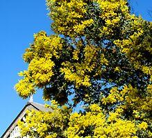 wattle tree - Ipswich  by betty porteus